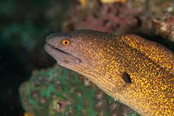 BD-110313-Puerto-Galera-3297-Gymnothorax-flavimarginatus-(Rüppell.-1830)-[Yellow-edged-moray].jpg